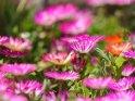 Eiskraut    Dieses Motiv ist am 20.03.2018 neu in die Kategorie Weitere Blumen aufgenommen worden.