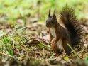 Dieses Motiv ist am 17.01.2018 neu in die Kategorie Hörnchen und Eichhörnchen aufgenommen worden.