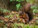 Dieses Kartenmotiv wurde am 29. Oktober 2018 neu in die Kategorie Eichhörnchen und andere Hörnchen aufgenommen.