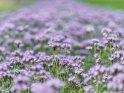 Phacelia-Feld    Dieses Motiv ist am 22.06.2017 neu in die Kategorie Blühende Wiesen aufgenommen worden.
