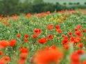 Blick auf ein Feld mit blühendem Mohn, Senf und Kornblumen