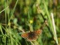 Wachtelweizen-Scheckenfalter    Dieses Kartenmotiv ist seit dem 29. Oktober 2017 in der Kategorie Schmetterlinge.