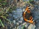Kleiner Fuchs    Dieses Motiv befindet sich seit dem 27. November 2018 in der Kategorie Schmetterlinge.
