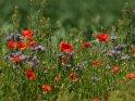Mohnblüten und Phacelia am Feldrand    Dieses Motiv ist am 21.09.2017 neu in die Kategorie Mohn aufgenommen worden.
