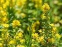 Goldfelberich    Dieses Kartenmotiv ist seit dem 31. Juli 2018 in der Kategorie Weitere Blumen.