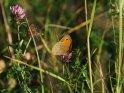 Ochsenauge auf einer Kleeblüte    Dieses Motiv ist am 14.11.2018 neu in die Kategorie Schmetterlinge aufgenommen worden.