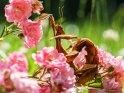 Gespenstschrecke mit Rosen