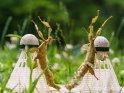 Gespenstschrecken mit Badminton-Bällen    Dieses Motiv finden Sie seit dem 25. November 2018 in der Kategorie andere Insekten.