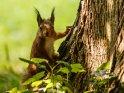 Dieses Kartenmotiv ist seit dem 26. Januar 2018 in der Kategorie Eichhörnchen und andere Hörnchen.