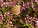 Brauner Waldvogel oder Schornsteinfeger    Dieses Motiv ist am 24.06.2018 neu in die Kategorie Schmetterlinge aufgenommen worden.