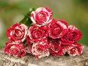 Dieses Motiv ist am 21.11.2017 neu in die Kategorie Rosen aufgenommen worden.