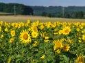 Dieses Motiv findet sich seit dem 30. August 2017 in der Kategorie Sonnenblumen.