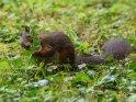 Dieses Motiv ist am 22.05.2019 neu in die Kategorie Eichhörnchen und andere Hörnchen aufgenommen worden.