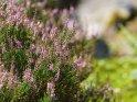 Blühende Heidepflanzen