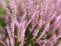 Blühende Heide    Dieses Motiv finden Sie seit dem 29. August 2017 in der Kategorie Blüten.