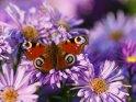 Pfauenauge    Dieses Motiv ist am 22.09.2017 neu in die Kategorie Schmetterlinge aufgenommen worden.