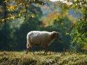 Dieses Kartenmotiv ist seit dem 28. Oktober 2017 in der Kategorie Lämmer und Schafe.