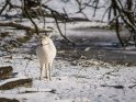Dieses Motiv ist am 22.02.2018 neu in die Kategorie Tierische Winterfotos aufgenommen worden.