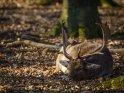 Hirsch liegt Anfang März in der Sonne und genießt die ersten warmen Sonnenstrahlen des Jahres.