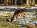 Junger Hirsch Anfang März, umgeben von den letzten Schneeresten    Dieses Motiv ist am 15.03.2018 neu in die Kategorie Hirsche aufgenommen worden.