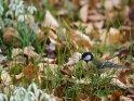 Kohlmeise mit Schneeglöckchen    Dieses Motiv ist am 21.03.2018 neu in die Kategorie Vögel aufgenommen worden.
