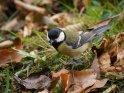 Kohlmeise    Dieses Motiv ist am 25.09.2019 neu in die Kategorie Vögel aufgenommen worden.