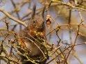 Eichhörnchen macht sich über die ersten Knospen des Frühlings her.    Dieses Motiv finden Sie seit dem 28. März 2018 in der Kategorie Hörnchen und Eichhörnchen.