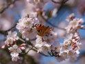 Pfauenauge auf einer japanischen Kirsche