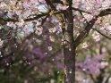Japanische Kirsche mit herunterfallenden Blütenblättern    Dieses Kartenmotiv ist seit dem 15. Mai 2018 in der Kategorie Kirschblüten.