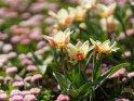 Dieses Motiv ist am 15.02.2020 neu in die Kategorie Tulpen aufgenommen worden.