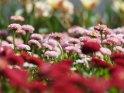 Dieses Motiv ist am 06.05.2021 neu in die Kategorie Frühlingsblumen aufgenommen worden.