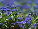 Vergissmeinnicht    Dieses Motiv ist am 26.04.2021 neu in die Kategorie Frühlingsblumen aufgenommen worden.
