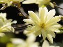 Magnolie    Dieses Motiv ist am 08.04.2020 neu in die Kategorie Frühlingsblüten aufgenommen worden.