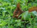 Dieses Motiv ist am 26.08.2019 neu in die Kategorie Eichhörnchen und andere Hörnchen aufgenommen worden.