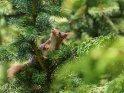 Dieses Motiv ist am 09.11.2018 neu in die Kategorie Eichhörnchen und andere Hörnchen aufgenommen worden.