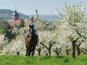 Reiterin zwischen blühenden Kirschbäumen