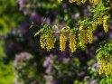 Goldregen mit Flieder im Hintergrund    Dieses Motiv finden Sie seit dem 06. Juni 2019 in der Kategorie Frühlingsblüten.