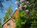 Flieder mit einem Fachwerkgebäude im Hintergrund    Dieses Motiv ist am 20.06.2018 neu in die Kategorie Frühlingsblüten aufgenommen worden.