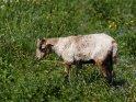 Dieses Motiv finden Sie seit dem 12. Mai 2018 in der Kategorie Lämmer und Schafe.