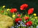Tulpen, Löwenzahn und Vergissmeinnicht