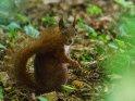 Dieses Motiv ist am 23.10.2019 neu in die Kategorie Eichhörnchen und andere Hörnchen aufgenommen worden.