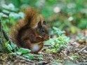 Dieses Motiv ist am 08.11.2018 neu in die Kategorie Eichhörnchen und andere Hörnchen aufgenommen worden.