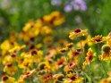 Kokardenblume    Dieses Motiv ist am 16.07.2018 neu in die Kategorie Weitere Blumen aufgenommen worden.