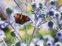 Dieses Motiv ist am 13.02.2019 neu in die Kategorie Schmetterlinge aufgenommen worden.
