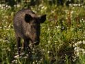 Dieses Motiv ist am 10.07.2020 neu in die Kategorie Wildschweine aufgenommen worden.