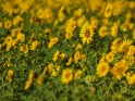Dieses Motiv ist am 14.03.2019 neu in die Kategorie Sonnenblumen aufgenommen worden.