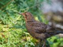Amsel    Dieses Motiv ist am 16.01.2020 neu in die Kategorie Vögel aufgenommen worden.