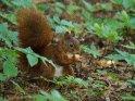Dieses Motiv findet sich seit dem 22. Januar 2020 in der Kategorie Eichhörnchen und andere Hörnchen.