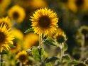 Dieses Kartenmotiv wurde am 12. August 2018 neu in die Kategorie Sonnenblumen aufgenommen.