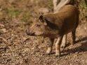Dieses Kartenmotiv ist seit dem 29. Februar 2020 in der Kategorie Schweine.